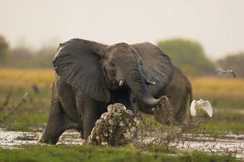 Elephant2-500