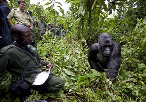 Gorillas-500