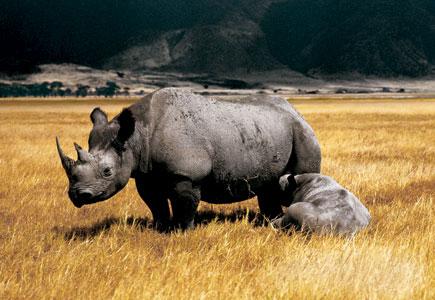 Rhino-435