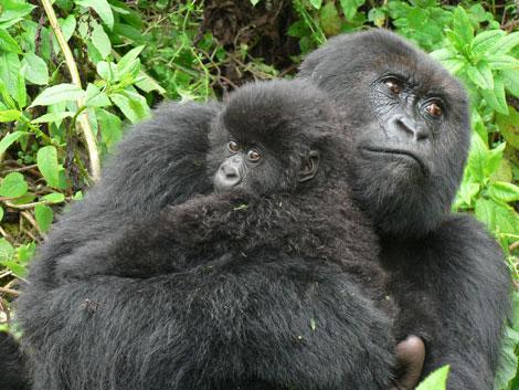 Gorillas-470