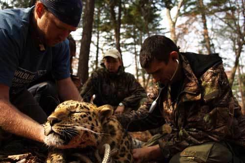 Leopard500